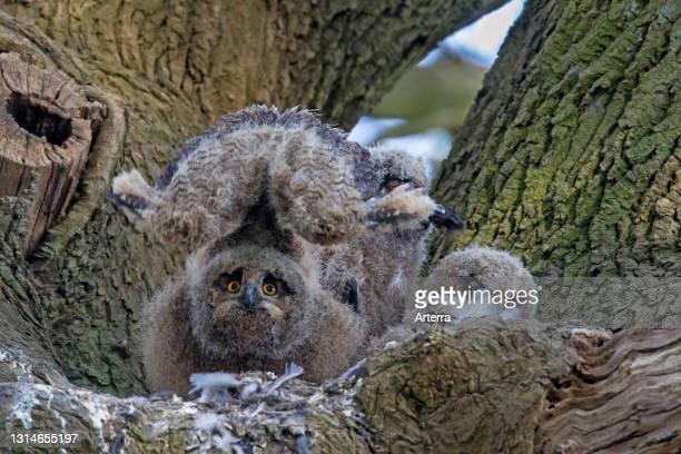 Eurasian eagle-owl / European eagle-owl chick stretching wings inside nest in oak tree in forest in spring.