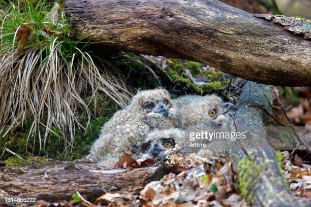 Eurasian eagle-owl / European eagle-owl three chicks in nest on the ground under fallen tree trunk in forest in spring.