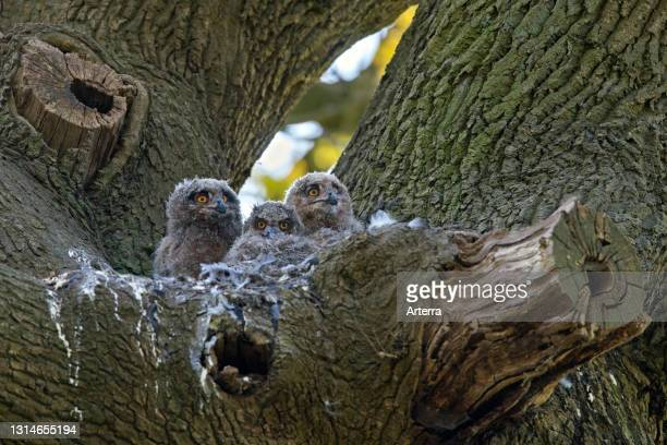 Eurasian eagle-owl / European eagle-owl three chicks inside nest in oak tree in forest in spring.