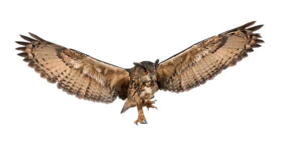 Eurasian Eagle-Owl flying against white background 149724516