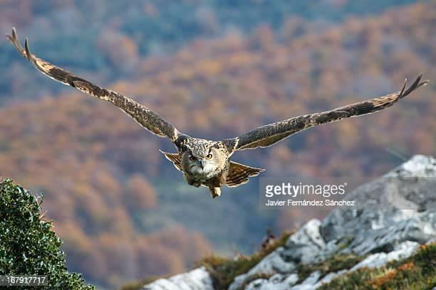 Eurasian Eagle-Owl flying