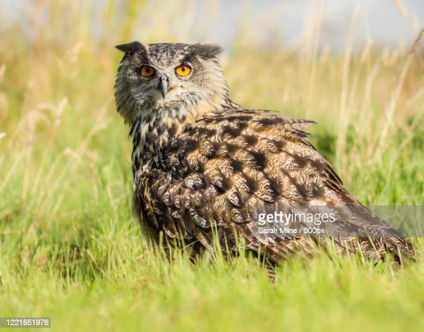eurasian eagle-owl (bubo bubo) in grass - eurasian eagle owl stock pictures, royalty-free photos & images