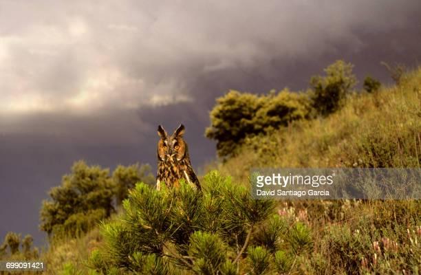 Eurasian Eagle-Owl (Bubo bubo) in Monfrage National Park