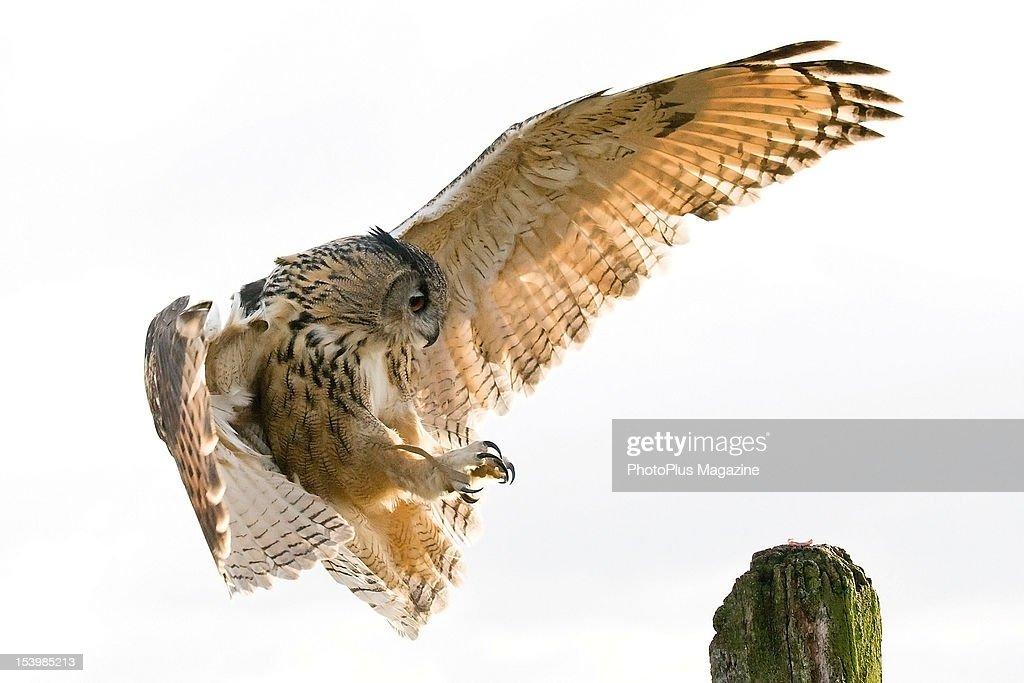 A Eurasian Eagle-Owl landing on a wooden post at Gloucester Barn Owl Centre, on December 1, 2010.