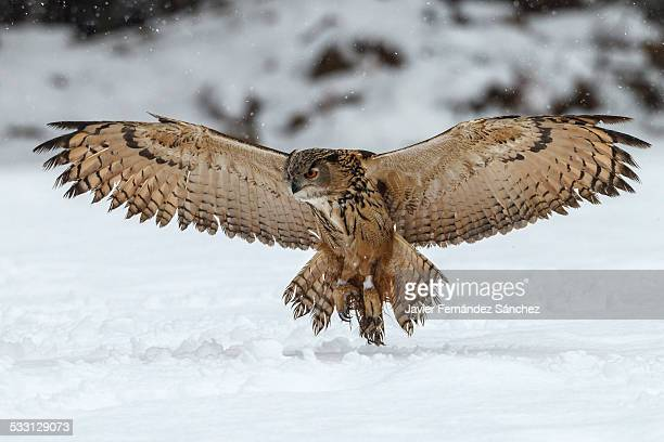 Eurasian eagle-owl landing on the snow