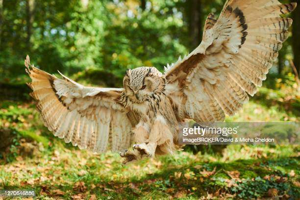 eurasian eagle-owl (bubo bubo) on approach, captive, germany - eurasian eagle owl stock pictures, royalty-free photos & images