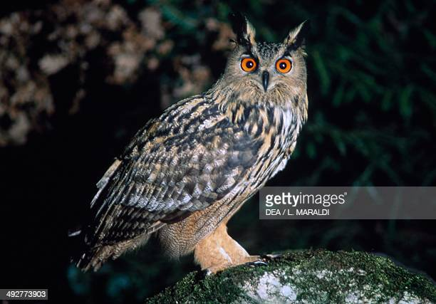 Eurasian eagleowl or European eagleowl Strigidae