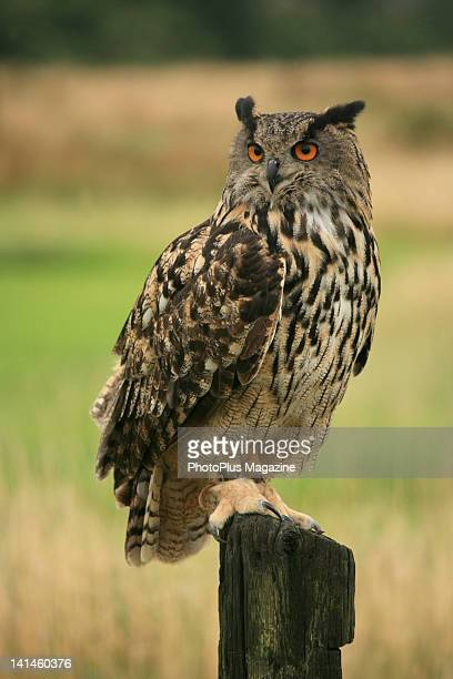 A Eurasian EagleOwl perched on a wooden post at Gloucester Barn Owl Centre on July 21 2009