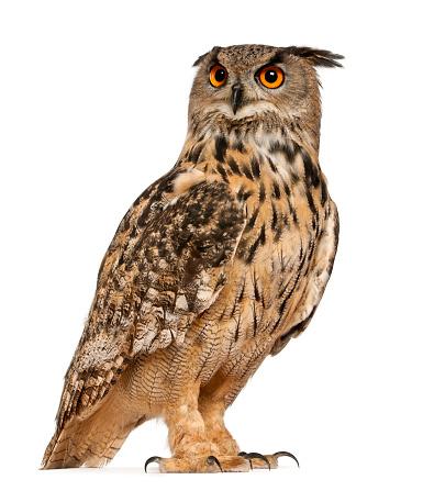 Eurasian Eagle-Owl 471409429