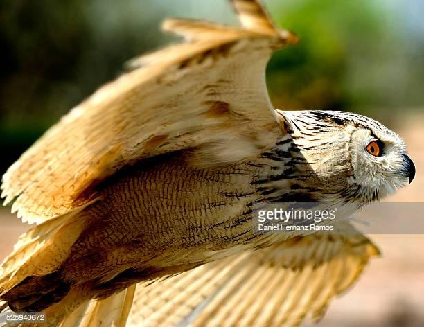 eurasian eagle-owl - eurasian eagle owl stock pictures, royalty-free photos & images