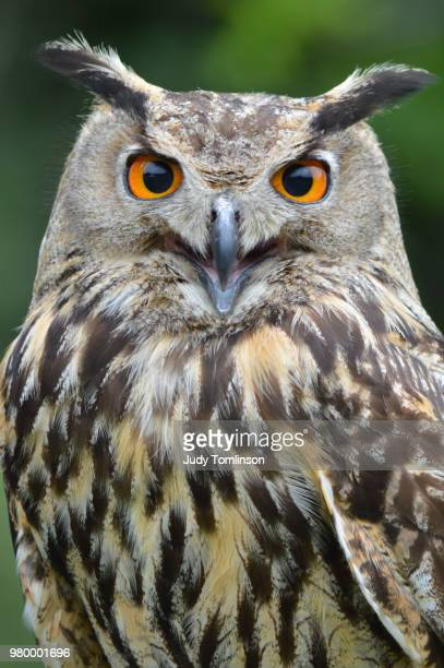 eurasian eagle-owl (bubo bubo) - eurasian eagle owl stock pictures, royalty-free photos & images