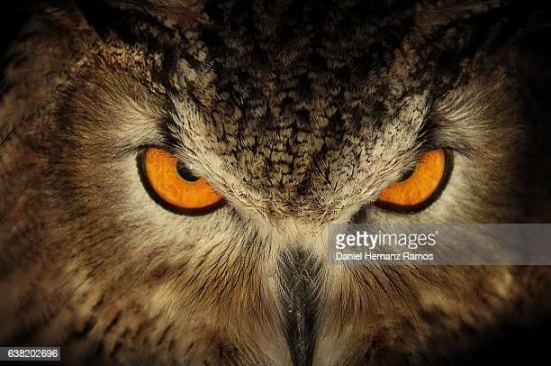 Eurasian eagle-owl red eyes close up. Bubo Bubo