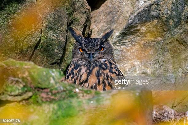 Eurasian eagle-owl sitting in rock face.