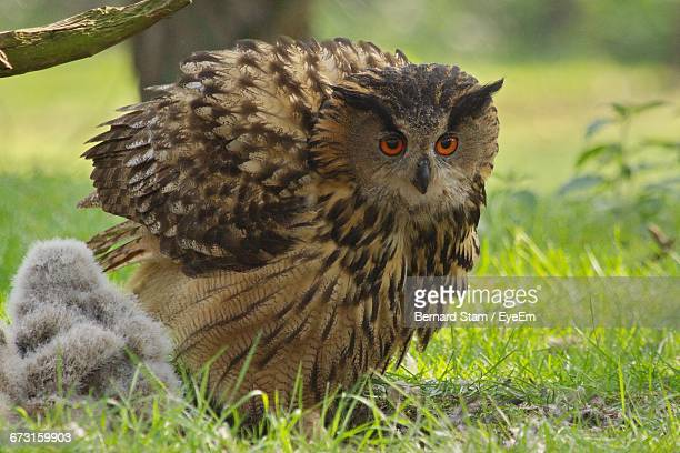 eurasian eagle-owl with young bird on field - gufo reale foto e immagini stock