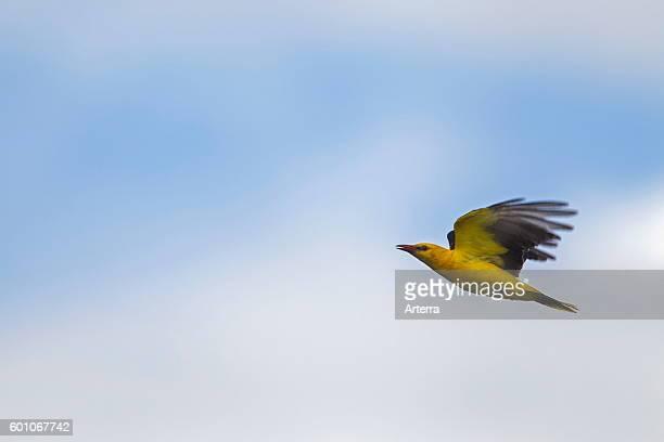 Eurasian golden oriole male in flight