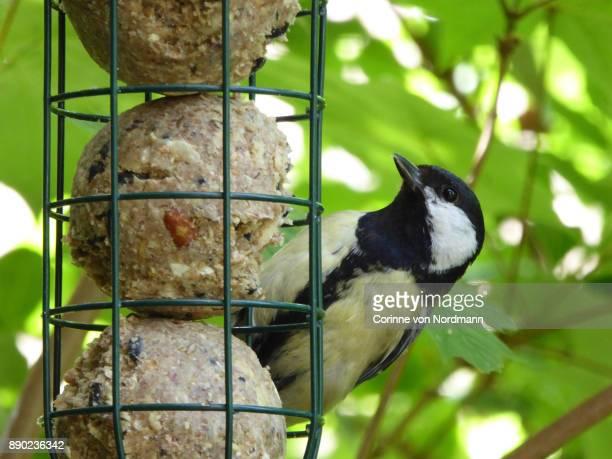 Eurasian Great Tit Male at Bird Feeder - Parus major