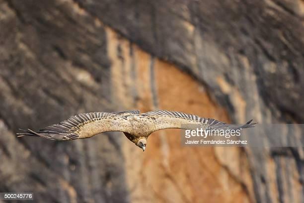 eurasian griffon vulture (gyps fulvus) flying. sierra de guara. huesca. spain. - huesca fotografías e imágenes de stock