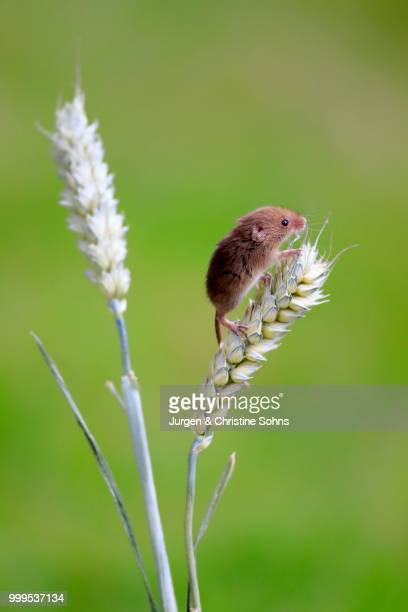 eurasian harvest mouse (micromys minutus), adult climbing on a wheat ear, surrey, england, united kingdom - harvest mouse stock pictures, royalty-free photos & images
