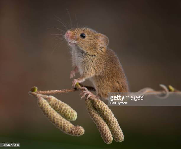 eurasian harvest mouse (micromys minutus) on branch - harvest mouse stock pictures, royalty-free photos & images