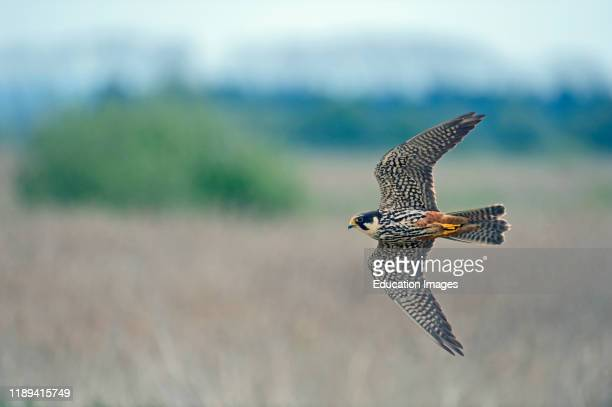 Eurasian Hobby, Falco subbuteo, hunting over reedbed at Lakenheath Fen RSPB Reserve Norfolk, Suffolk UK.