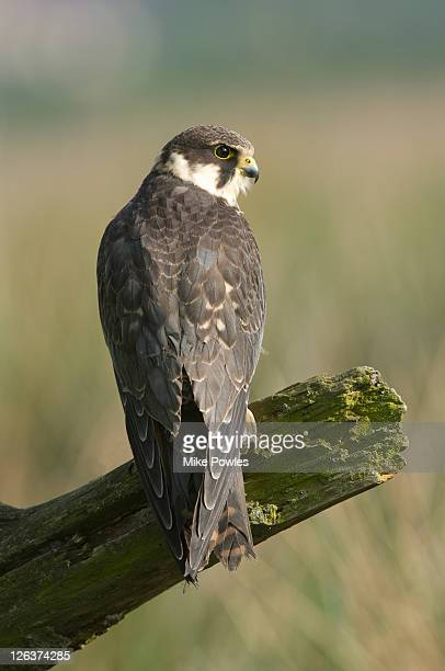 Eurasian Hobby (Falco subbuteo) perched on tree stump, UK