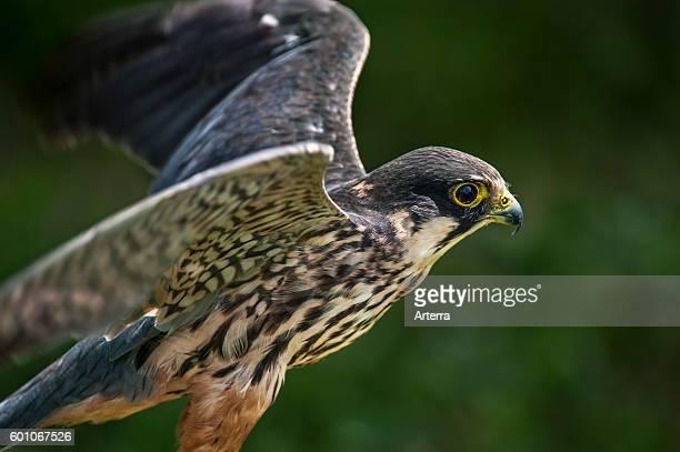 Eurasian hobby spreading wings for taking off