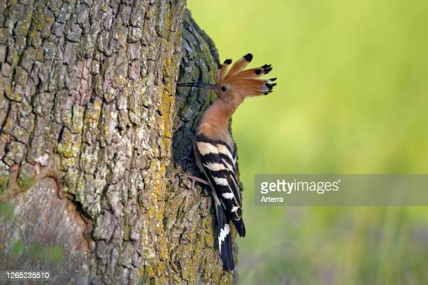 Eurasian hoopoe with erected crest feathers at nest entrance in hollow tree in spring