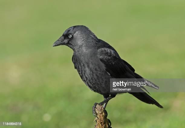 eurasian jackdaw corvus monedula adult perched