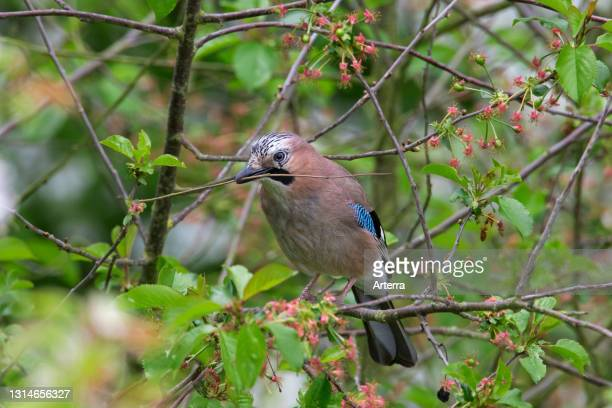 Eurasian jay / European jay perched in tree with nesting material in beak in spring.