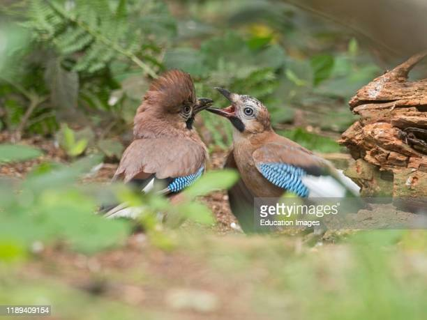 Eurasian Jay Garrulus glandarius pair courtship feeding male passing food to begging female North Norfolk summer