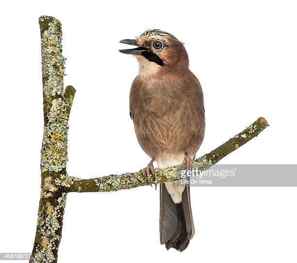 Eurasian Jay perching on a branch tweeting
