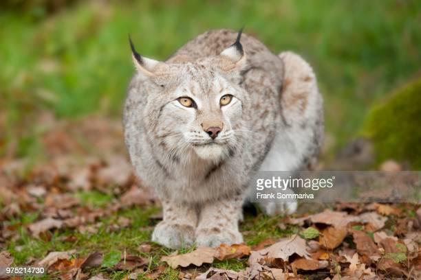 Eurasian Lynx (Lynx lynx), captive, Bavaria, Germany