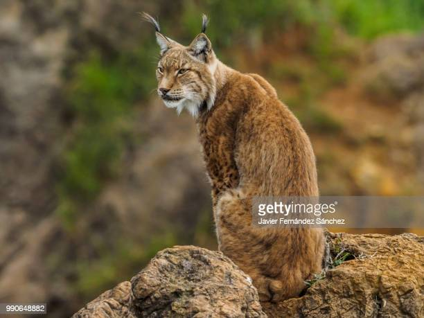 A eurasian lynx controls the territory from the top of a rock. Lynx lynx