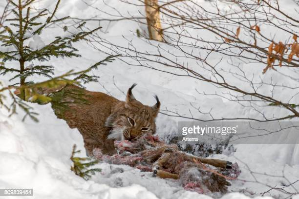 Eurasian lynx feeding on killed roe deer in the snow in winter