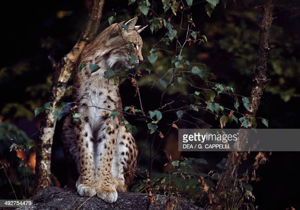 Eurasian Lynx Felidae Bavarian Forest National Park Bavaria Germany