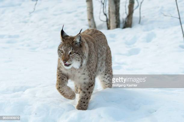 Eurasian lynx is walking in the snow at a wildlife park in northern Norway