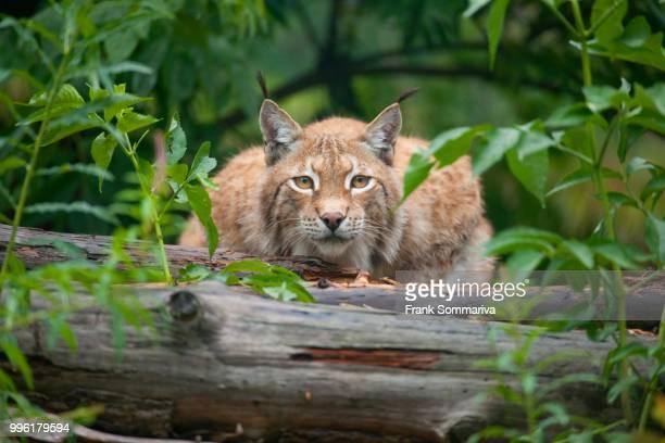 Eurasian lynx (Lynx lynx) lying in wait, captive, Thuringia, Germany
