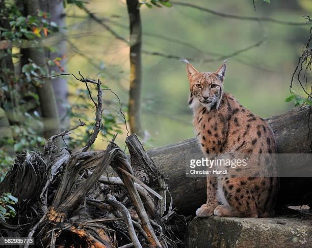 Eurasian Lynx -Lynx lynx-, Bavarian Forest National Park, Bavaria, Germany, Europe