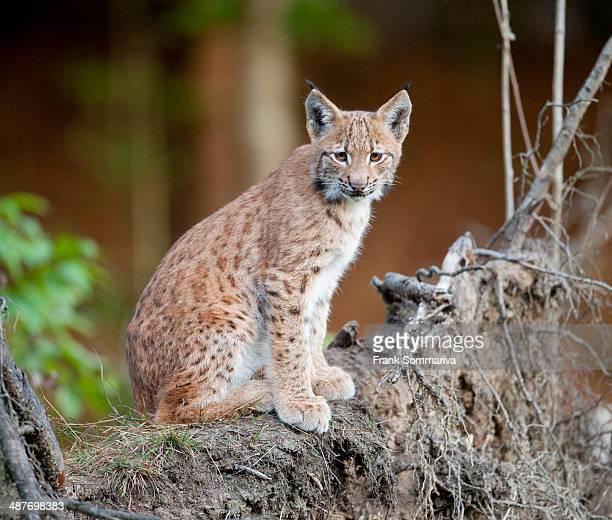 Eurasian Lynx -Lynx lynx-, cub sitting on tree roots, animal enclosure, Bavarian Forest National Park, Bavaria, Germany
