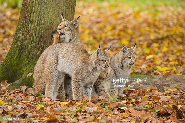 Eurasian Lynx, Lynx lynx, Female with Three Kitten