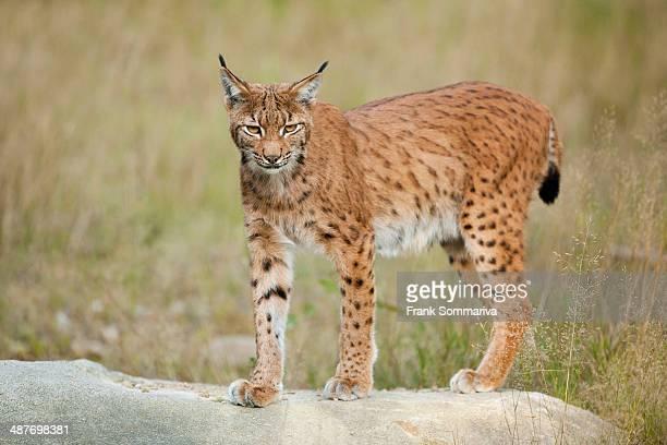 Eurasian Lynx -Lynx lynx-, standing on a rock in an animal enclosure, Bavarian Forest National Park, Bavaria, Germany