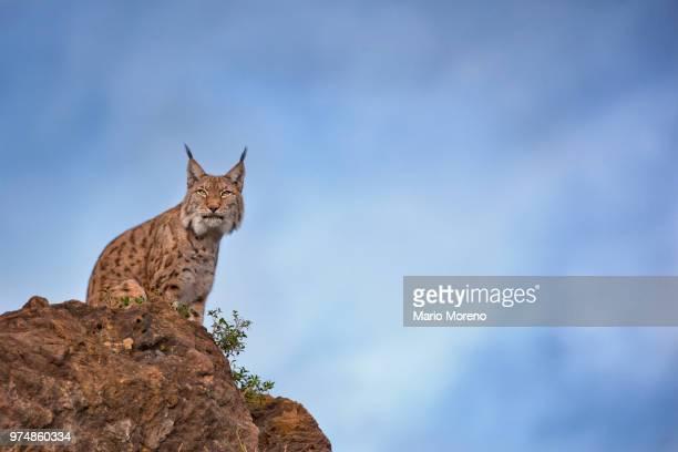 Eurasian lynx (Lynx lynx) on a cliff, Cabarceno Natural Park, Cabarceno, Pisuena Valley, Cantabria, Spain