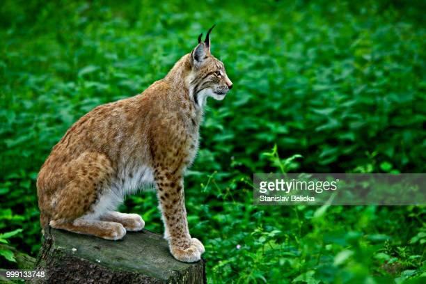 Eurasian Lynx or Northern Lynx (Lynx lynx), Wildpark Poing, Bavaria, Germany