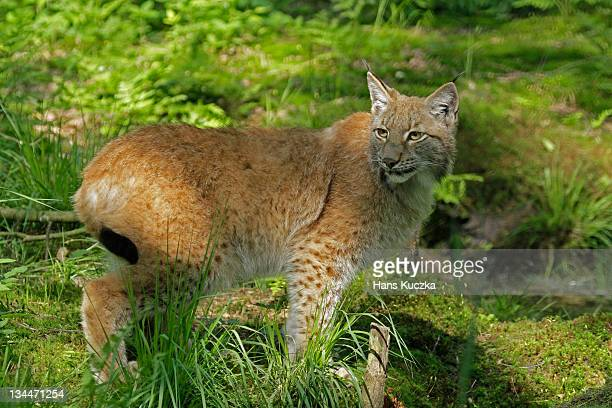 eurasian lynx (lynx lynx) - vista lateral stock pictures, royalty-free photos & images
