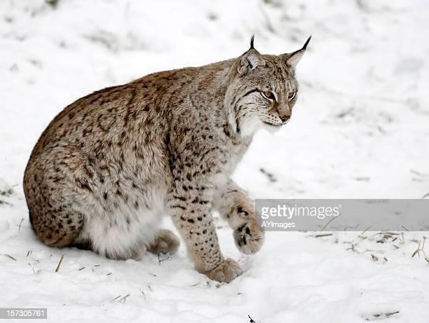lynx eurasien - lynx photos et images de collection