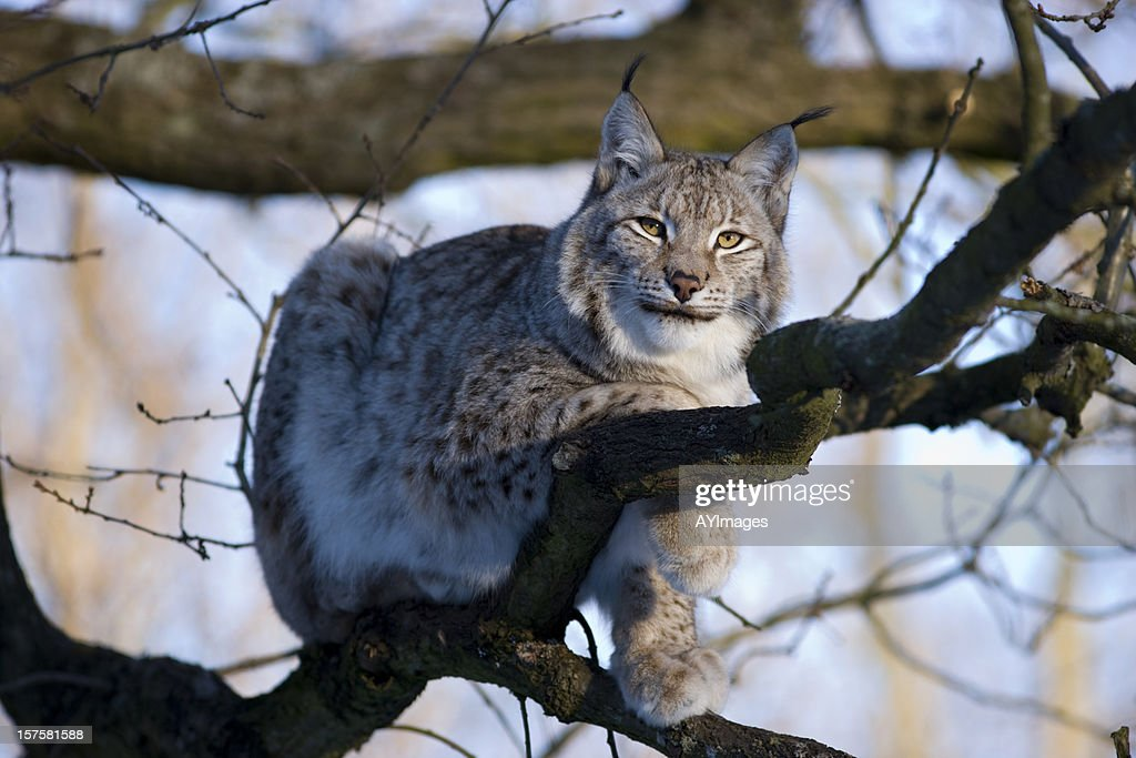 Eurasian Lynx : Stock Photo