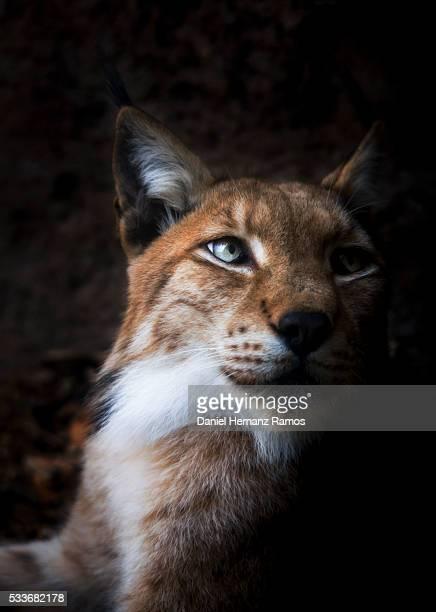 eurasian lynx - lynx photos et images de collection
