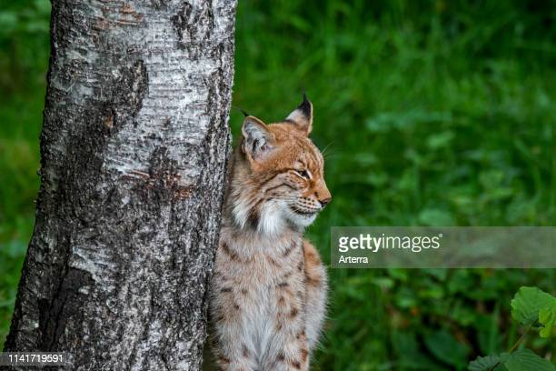 Eurasian lynx resting next to birch tree in forest.