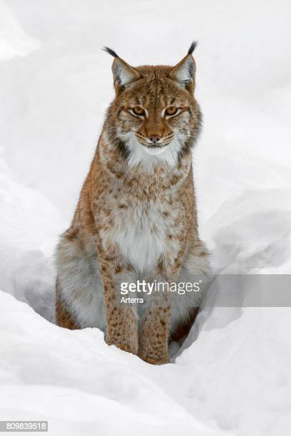 Eurasian lynx sitting in the snow in winter