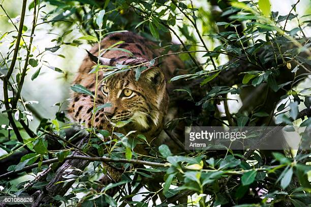 Eurasian lynx stalking prey in brushwood